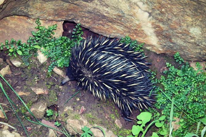 Echidna in Wilpena Pound, South Australia