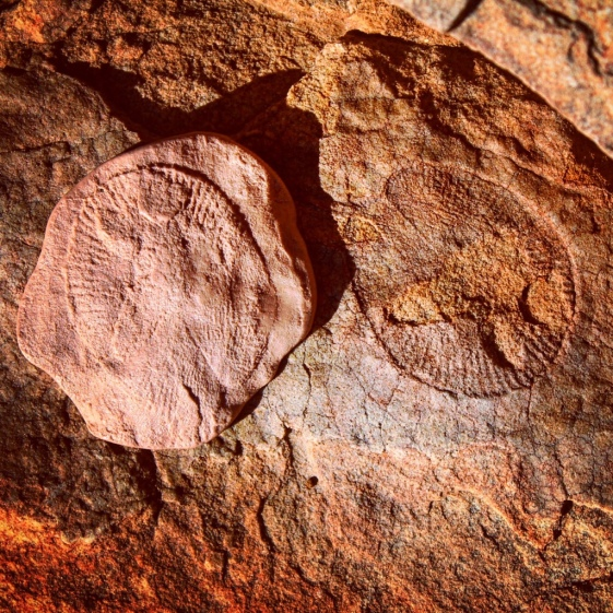 Dickinsonia costata fossil, Nilpena Station, South Australia