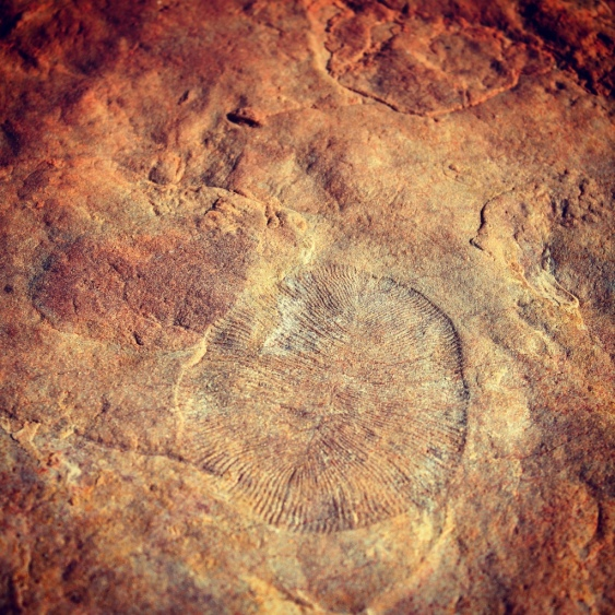 More dickensonia fossil imprints, Nilpena, South Australia