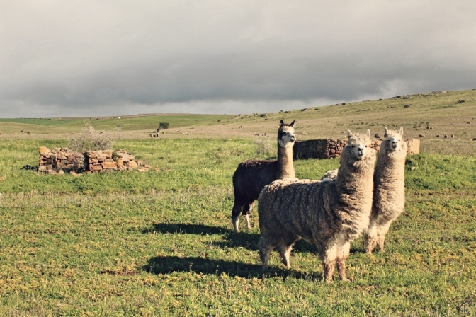 Suspicious alpacas, Lipson Cove, South Australia