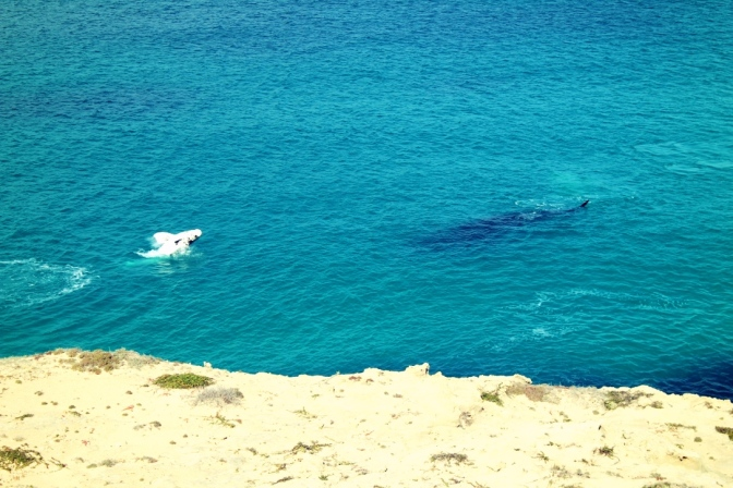 Whale calf, Head of the Bight, South Australia