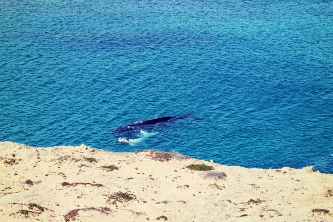 vWhale calf, Head of the Bight, South Australia
