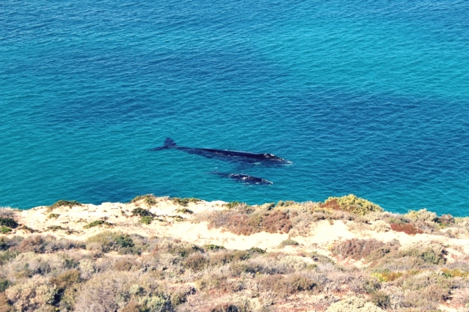 Whales at Head of the Bight, South Australia