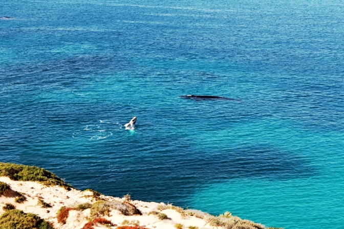 Whale calf breach, Head of Bight, South Australia