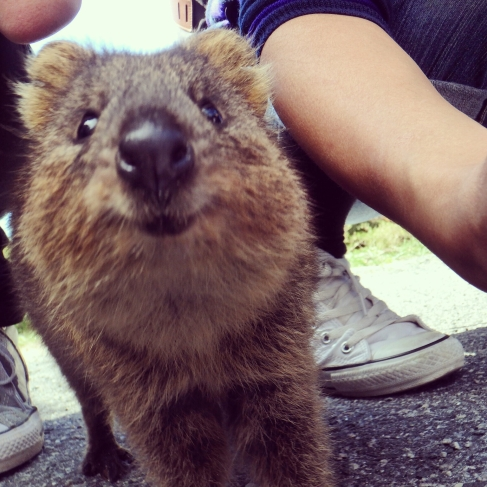 Quokka close up, Rottnest Island Western Australia