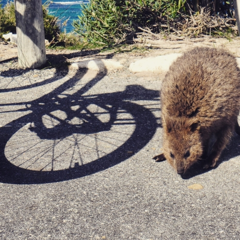 Quokka and bike, Rottnest Island Western Australia