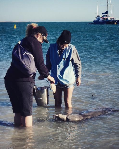Feeding dolphins, Monkey Mia, Western Australia