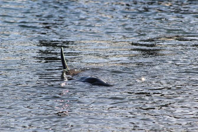 Dolphin fin, Monkey Mia, Shark Bay Western Australia