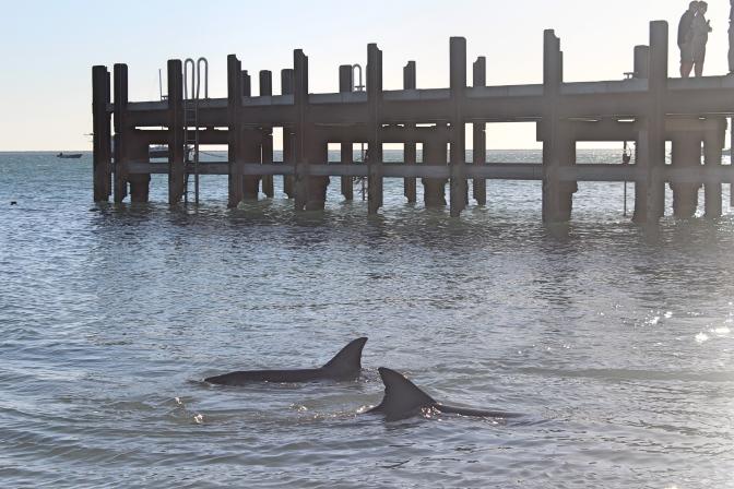 Dolphin fins with pier, Monkey Mia, Western Australia
