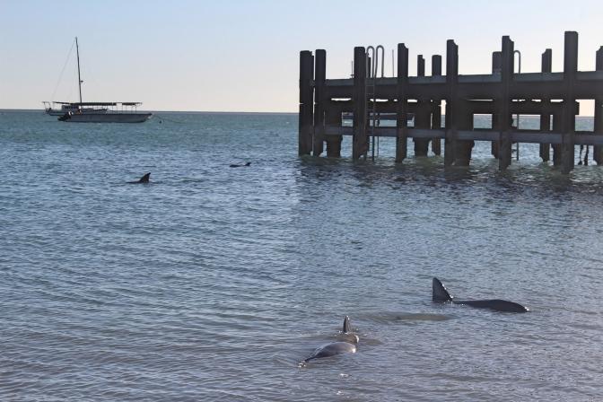 Four dolphins, Monkey Mia, Western Australia