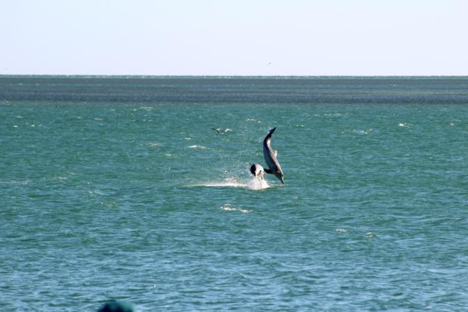 Dolphins jumping, Monkey Mia, Western Australia