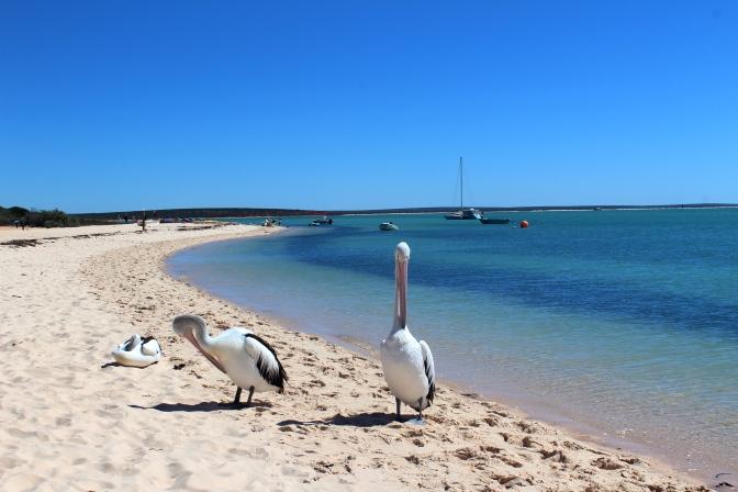 Pelicans, Monkey Mia, Western Australia