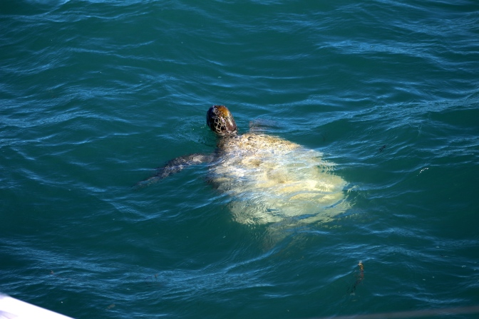 Turtle, Shark Bay, Western Australia