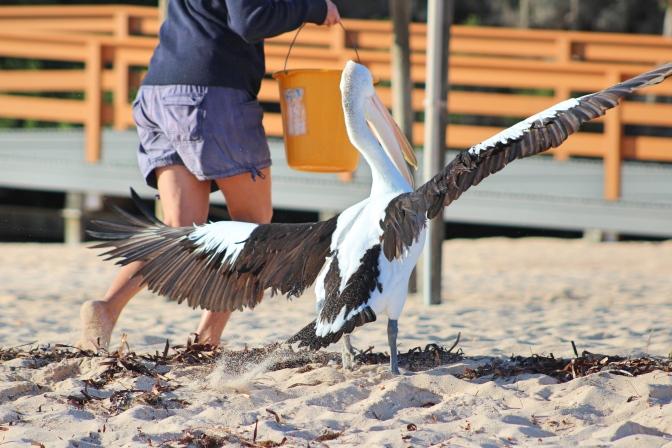 Pelican training, Monkey Mia, Western Australia