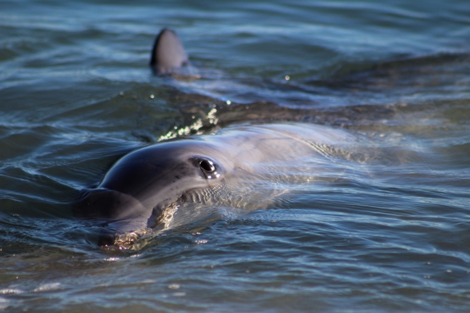 Dolphin close up, Monkey Mia, Shark Bay Western Australia
