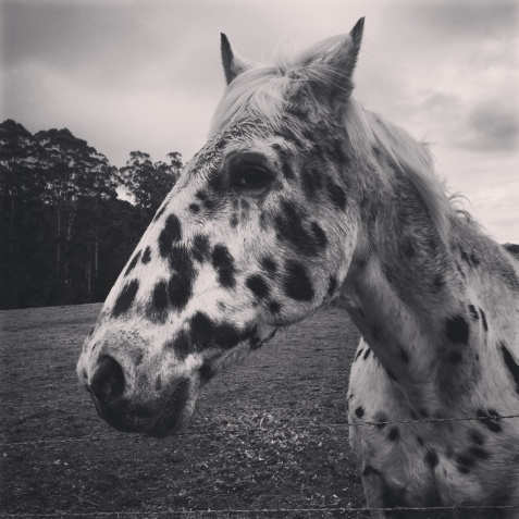 Spotty horse, Hidden River Estate, Pemberton,Western Australia