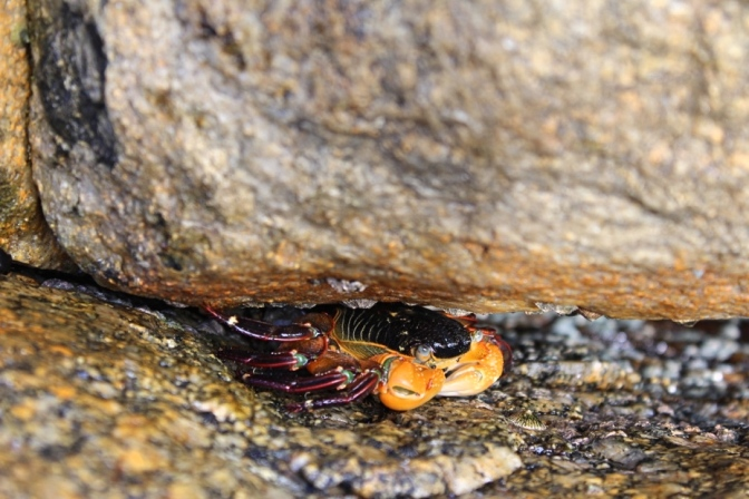 Crab, Elephant Rocks, Denmark WA