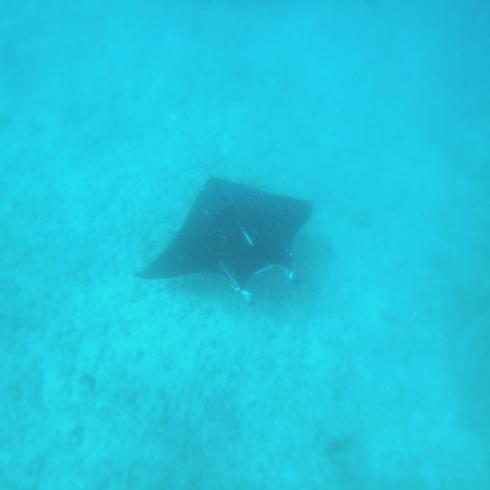 Manta ray, Coral Bay, Western Australia