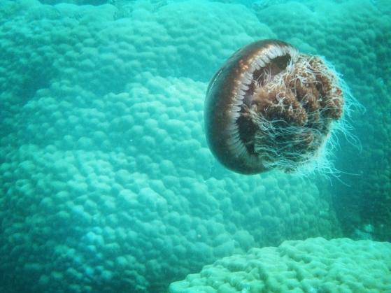 Jellyfish, Ningaloo Reef, Western Australia