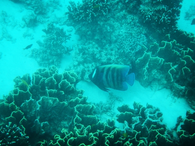Butterfly fish, Ningaloo Reef, Western Australia