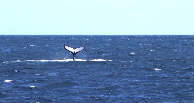 Humpback whale fluke Ningaloo Reef, Exmouth, Western Australia