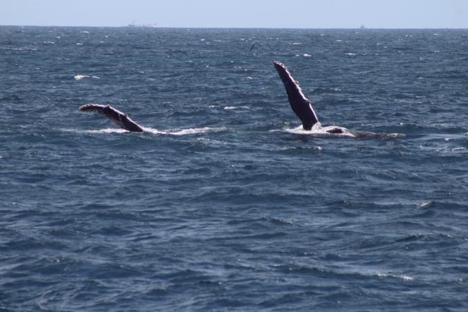 Humpback fins, Ningaloo Reef, Exmouth, Western Australia