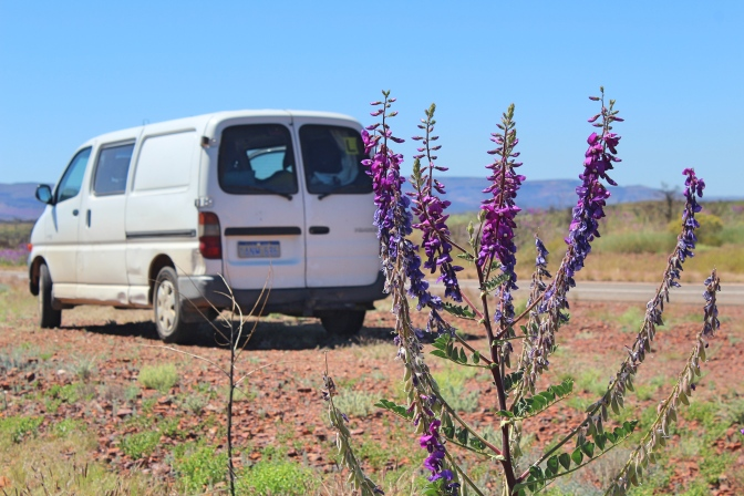 Wildflower and campervan, Pilbara, Western Australia
