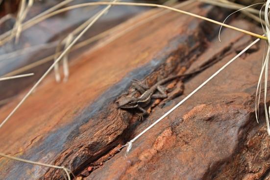 Lizard, Karijini, Western Australia