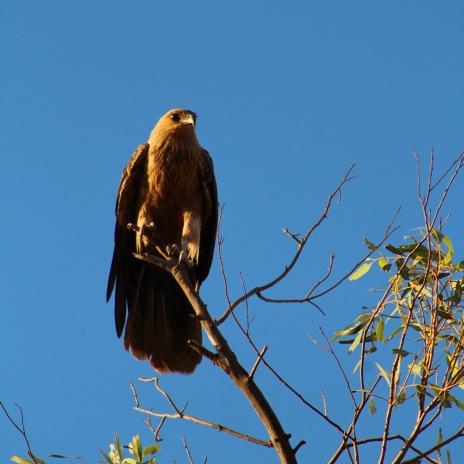 Kite, Broome, Western Australia