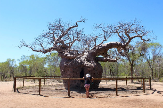 Prison tree, Wyndham Western Australia