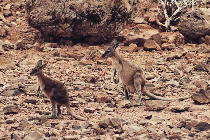 Island kangaroos, Lake Argyle, Western Australia