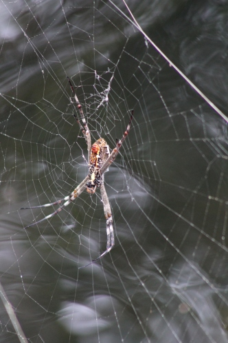 Big spider, Litchfield National Park, Northern Territory