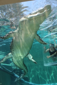 Underbelly of crocodile at Crocosaurus Cove, Darwin, Northern Territory