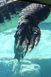 Crocodile claw, Crocosaurus Cove, Darwin, Northern Territory