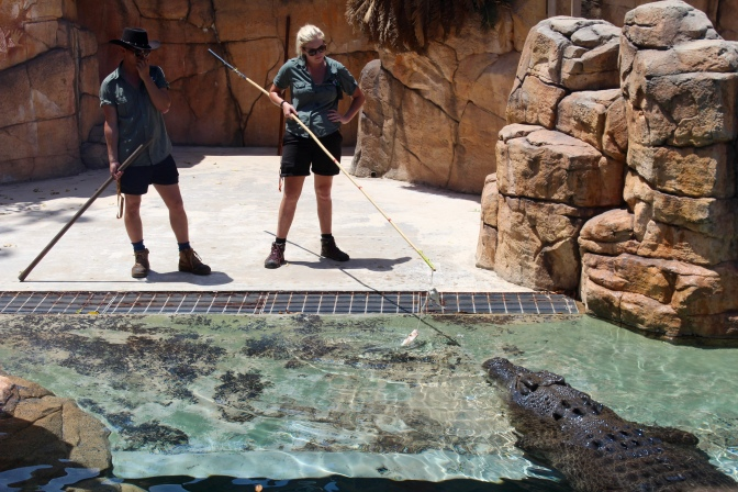 Feeding saltwater crocodiles, Crocosaurus Cove, Darwin, Northern Territory