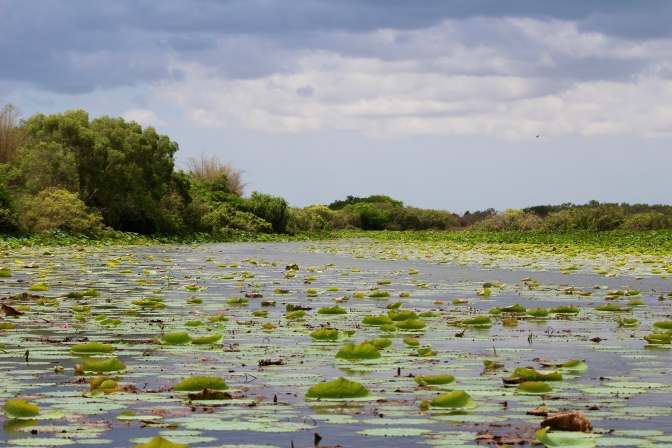 Billabong with lily pads, Corroboree Billabong, Northern Territory