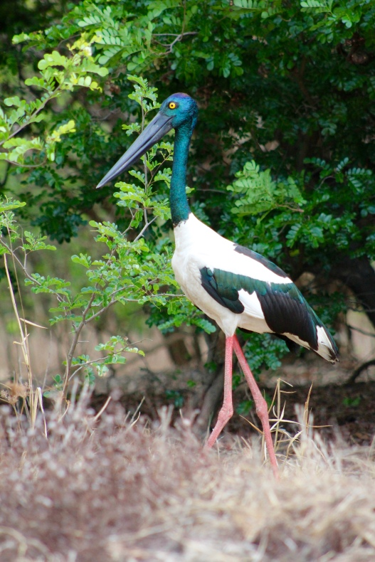 Jabiru, Corroboree Billabong, Northern Territory
