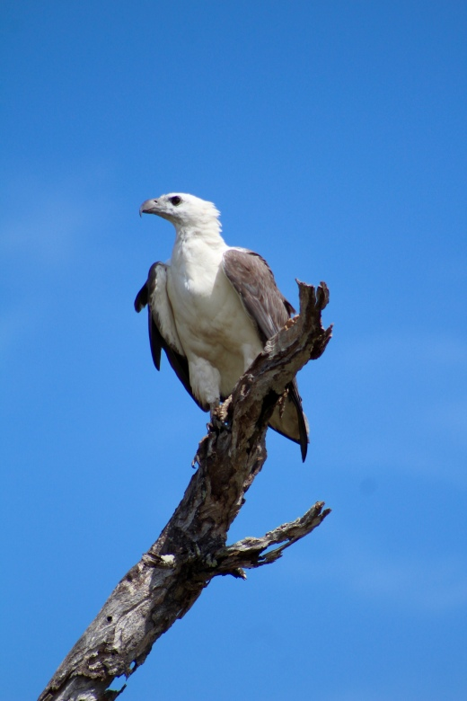 White bellied sea eagle, Corroboree Billabong, Northern Territory