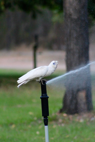 Parrot on water sprinkler, Mary River, Northern Territory