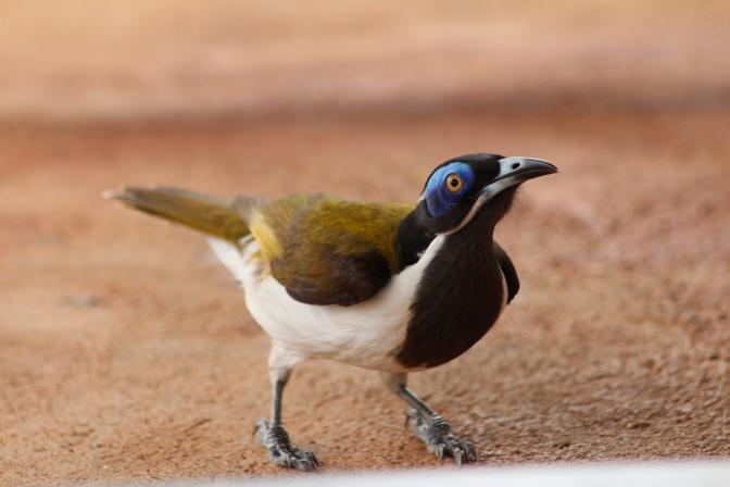 Bellbird, Katherine, Northern Territory