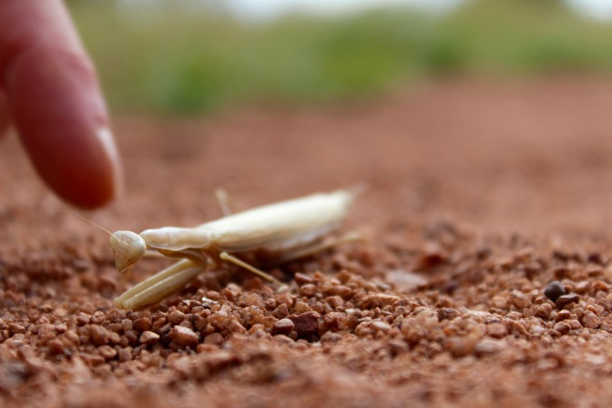 White preying mantis on red earth Uluru Northern Territory