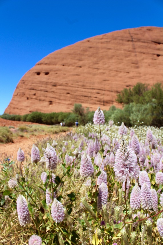 Wildflower close up Kata Tjuta Northern Territory
