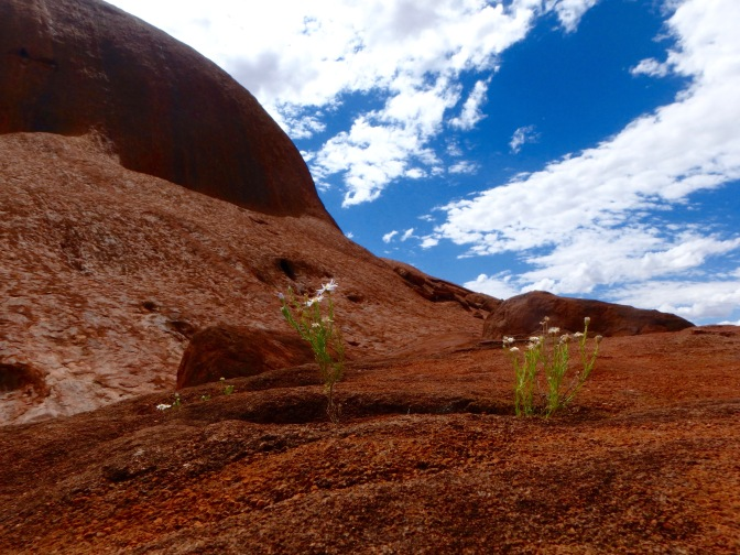Wildflowers on Uluru rock face Northern Territory