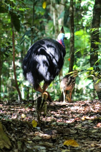 Rear view Southern cassowary and chick in Daintree Rainforest