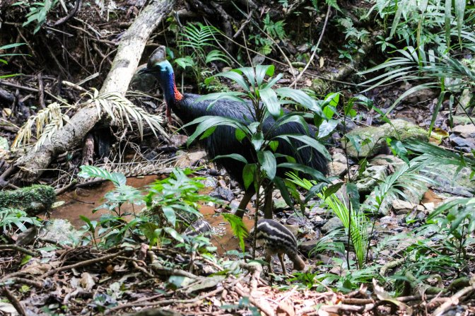 Male southern cassowary with chick