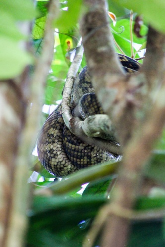 Python in tree, Daintree Rainforest