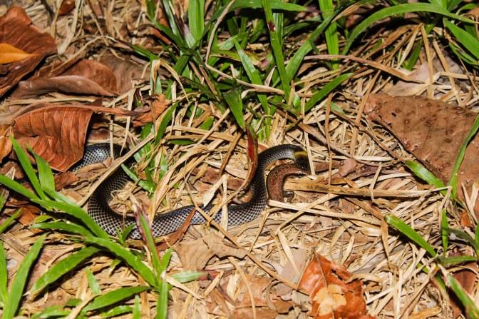 Snake killing lizard