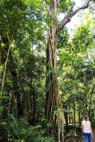 Huge strangular fig covering tree in Daintree Rainforest