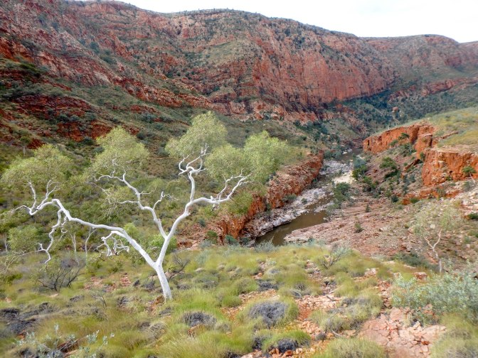 White gum tree, Ormiston Gorge, Northern Territory, Australia