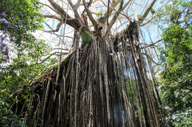 Curtain Fig Tree, Atherton Tablelands, Queensland